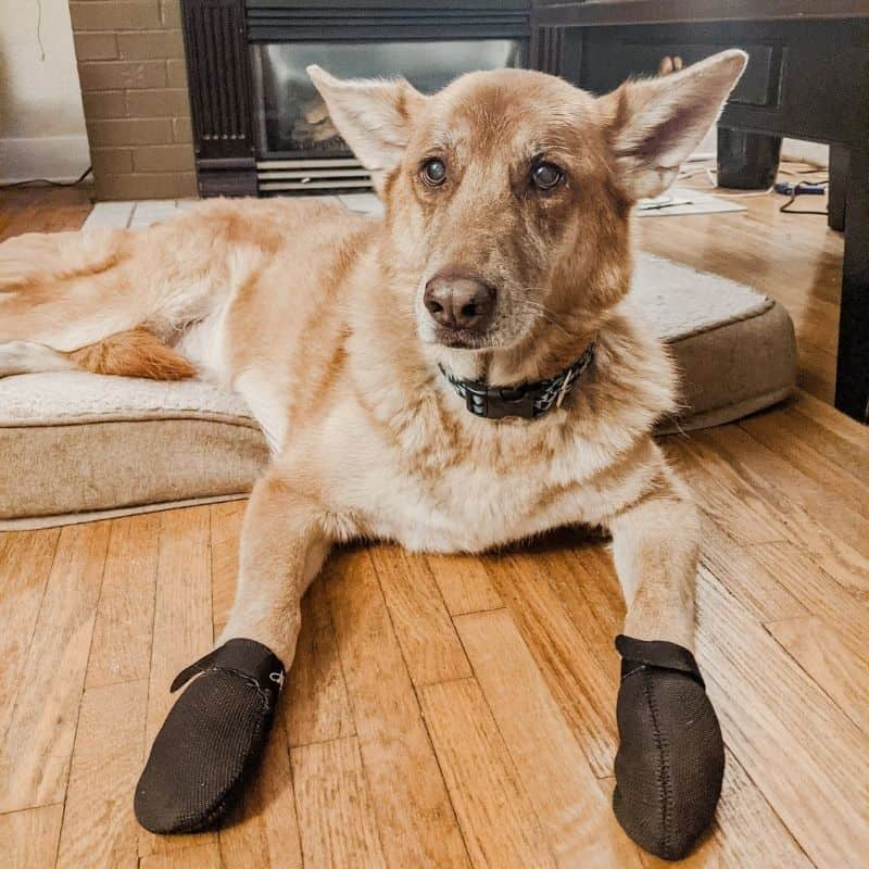 brown german shepherd dog laying on a dog bed in front of a fireplace, wearing a blue and black collar and black dog booties