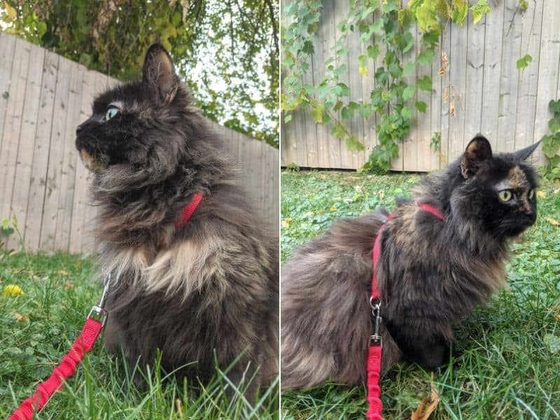 long-haired tortoiseshell cat outside in the grass, in front of a wooden fence, wearing a red harness and leash