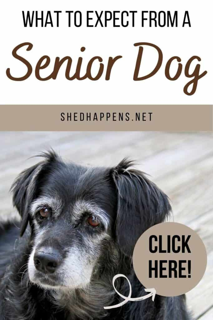A black dog with brown eyes and greying around its muzzle and eyes laying on a wooden surface with text stating what to expect from a senior dog.