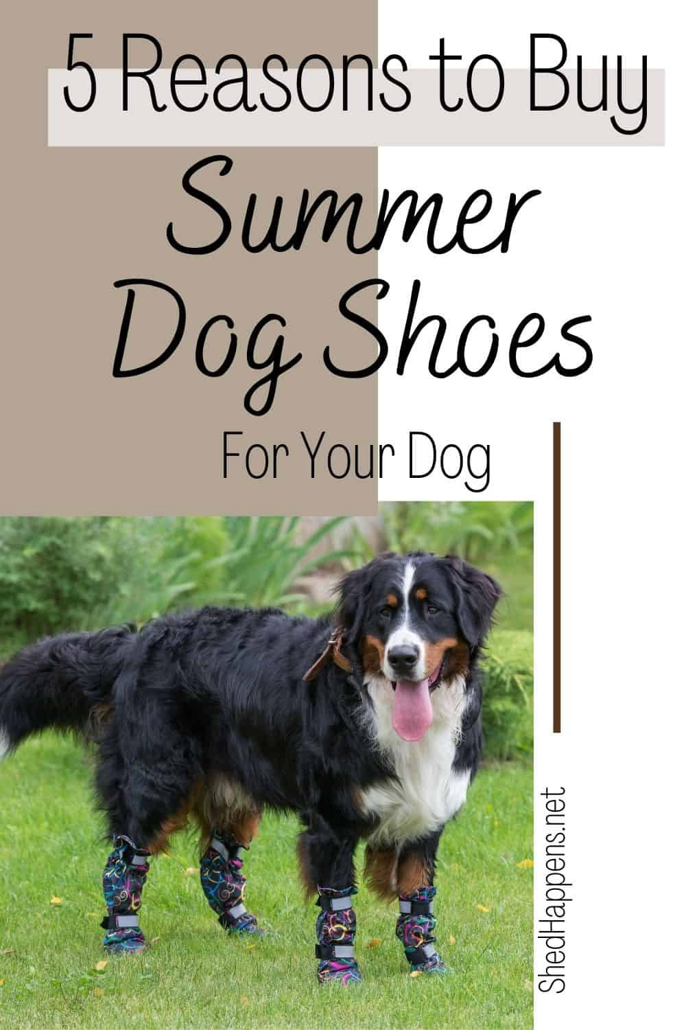A Burnese Mountain Dog standing outside in the grass, wearing black and neon-coloured dog boots with its tongue hanging out of its mouth. Text announces 5 reasons to buy summer dog shoes for your dog.